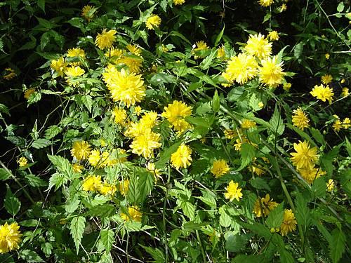 busk med gule blomster